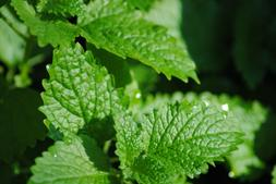 Leaf & Flower Catnip | POTENT, All Natural, GMO FREE | Buy a
